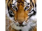 Картина напечатаная на холсте Тигр 50x50 cm AL-75367