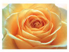 Фотообои The orange rose 400x280 см ED-88125