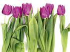 Флизелиновые фотообои Tulips 2 360x270 см ED-94807