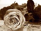 Флизелиновые фотообои Roses 360x270 см ED-94810