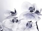 Флизелиновые фотообои Orchids 3 360x270 см ED-94811