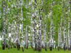 Флизелиновые фотообои Birchwood 360x270 см ED-94845